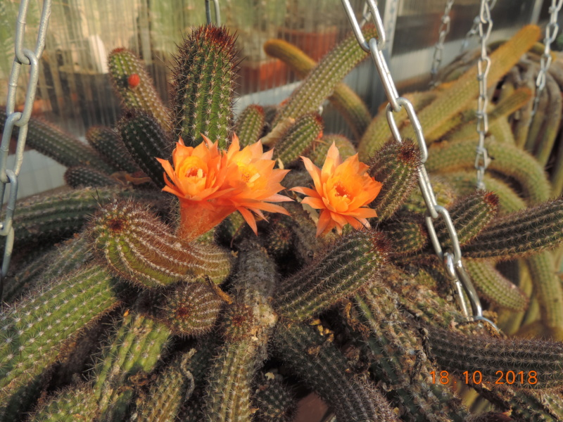 Cacti and Sukkulent in Köln, every day new flowers in the greenhouse Part 203 Bild1728