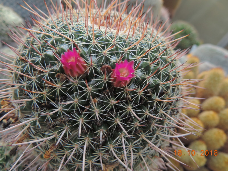 Cacti and Sukkulent in Köln, every day new flowers in the greenhouse Part 203 Bild1731