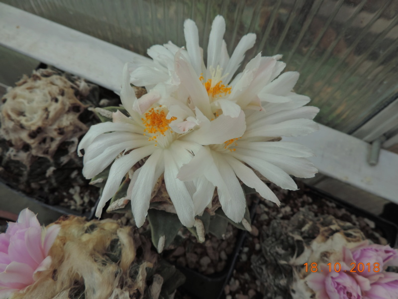 Cacti and Sukkulent in Köln, every day new flowers in the greenhouse Part 203 Bild1743