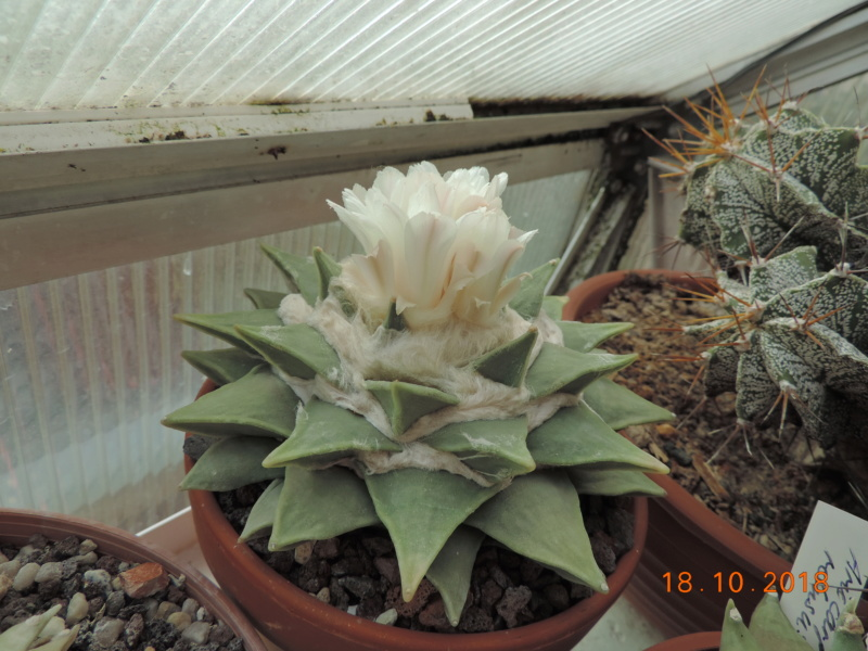 Cacti and Sukkulent in Köln, every day new flowers in the greenhouse Part 203 Bild1745