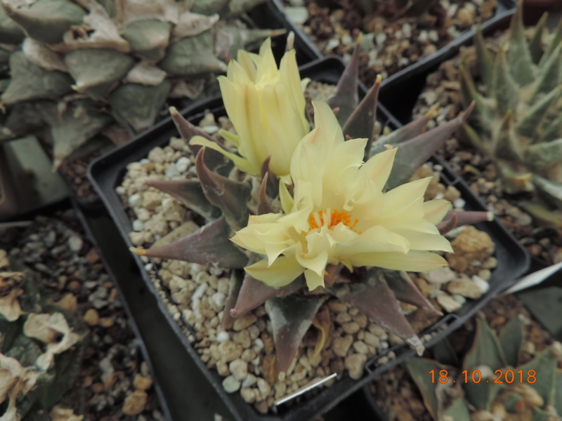 Cacti and Sukkulent in Köln, every day new flowers in the greenhouse Part 203 Bild1749