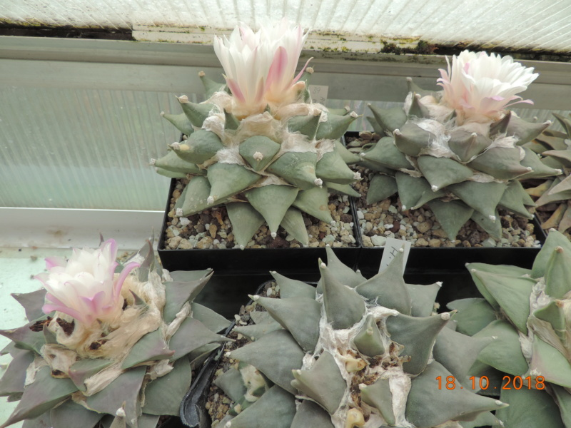 Cacti and Sukkulent in Köln, every day new flowers in the greenhouse Part 203 Bild1751