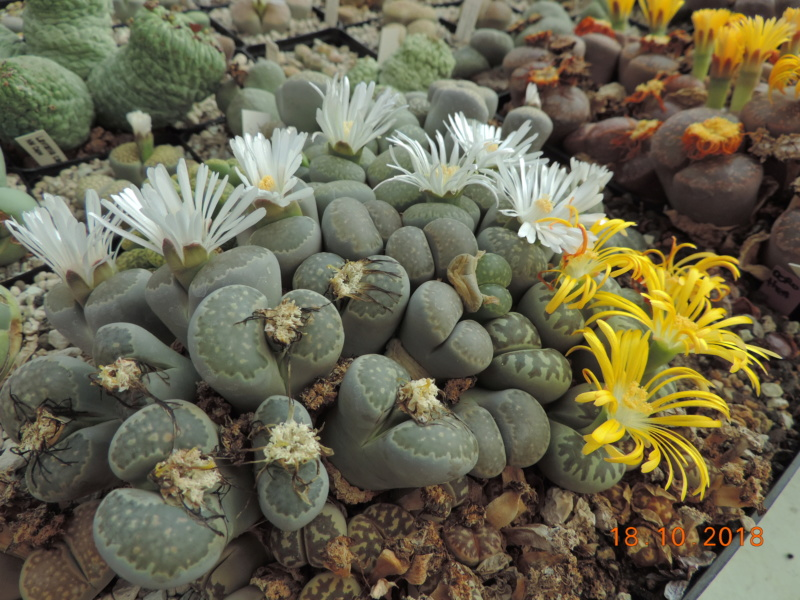 Cacti and Sukkulent in Köln, every day new flowers in the greenhouse Part 203 Bild1752