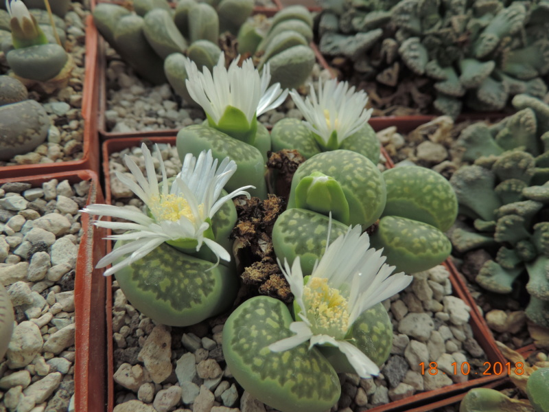 Cacti and Sukkulent in Köln, every day new flowers in the greenhouse Part 203 Bild1761