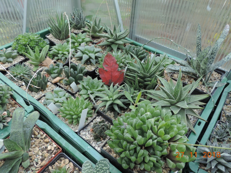 Cacti and Sukkulent in Köln, every day new flowers in the greenhouse Part 204 Bild1802