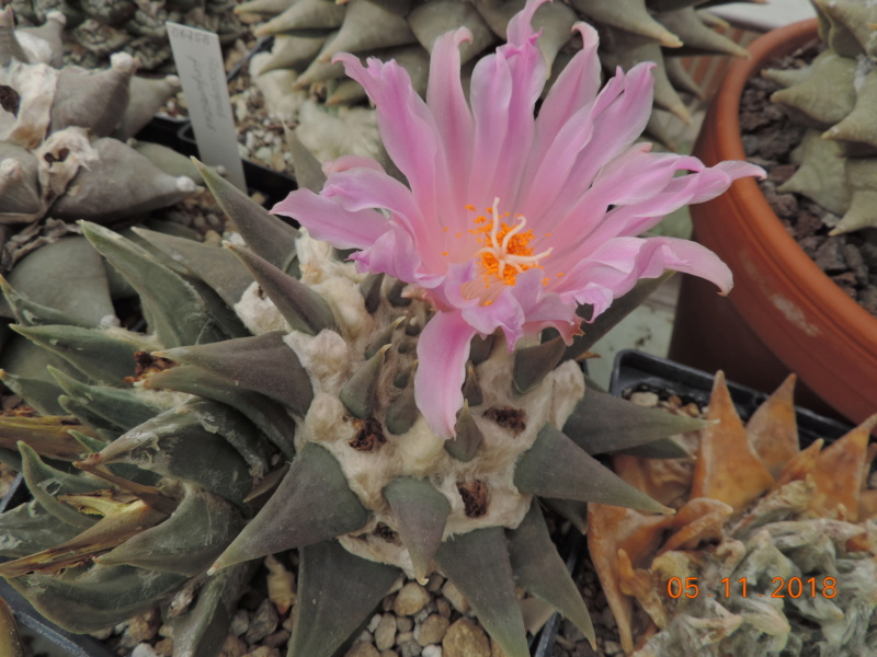 Cacti and Sukkulent in Köln, every day new flowers in the greenhouse Part 204 Bild1807