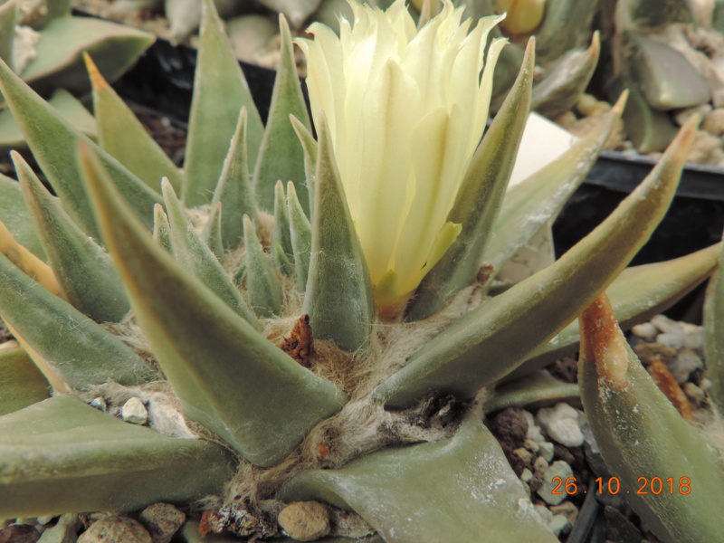 Cacti and Sukkulent in Köln, every day new flowers in the greenhouse Part 205 Bild1819
