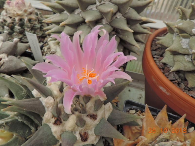Cacti and Sukkulent in Köln, every day new flowers in the greenhouse Part 205 Bild1821