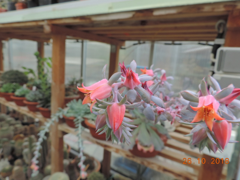 Cacti and Sukkulent in Köln, every day new flowers in the greenhouse Part 205 Bild1829