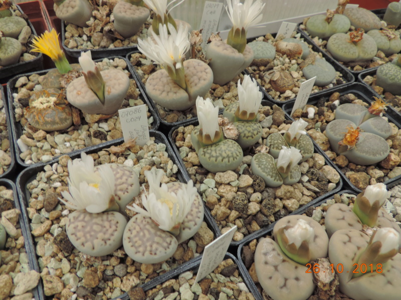 Cacti and Sukkulent in Köln, every day new flowers in the greenhouse Part 205 Bild1834