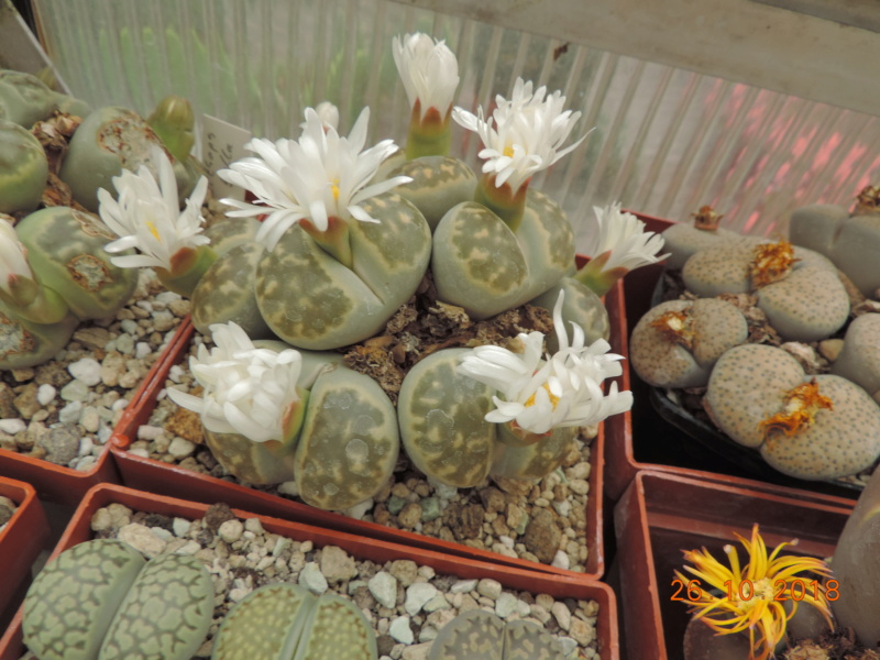 Cacti and Sukkulent in Köln, every day new flowers in the greenhouse Part 205 Bild1843