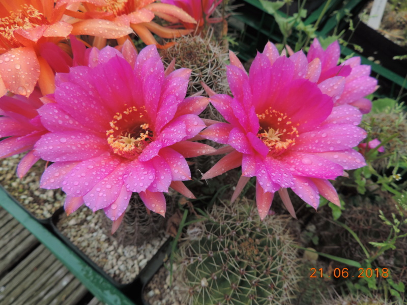 Cacti and Sukkulent in Köln, every day new flowers in the greenhouse Part 206 Bild1936