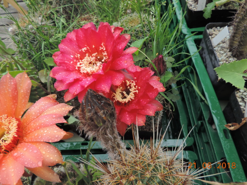 Cacti and Sukkulent in Köln, every day new flowers in the greenhouse Part 206 Bild1939