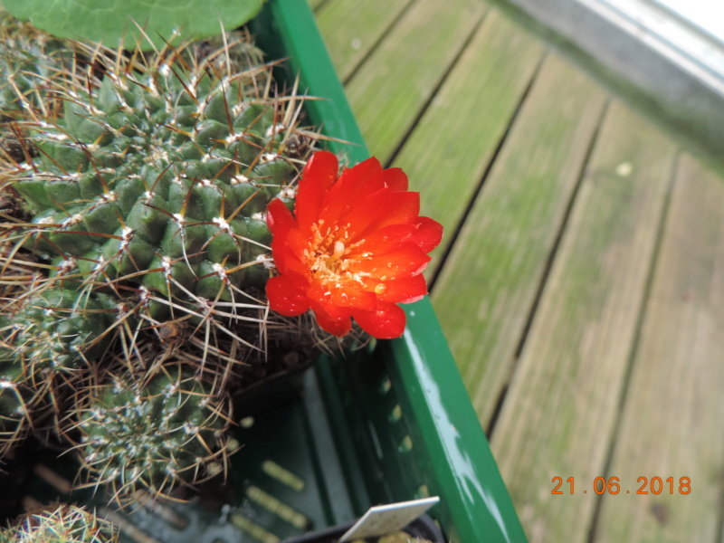 Cacti and Sukkulent in Köln, every day new flowers in the greenhouse Part 206 Bild1940