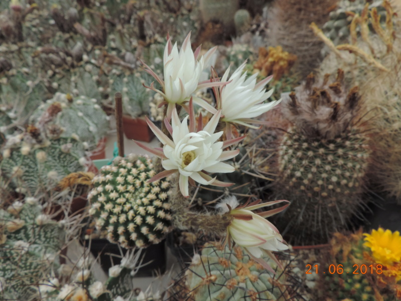 Cacti and Sukkulent in Köln, every day new flowers in the greenhouse Part 206 Bild1941