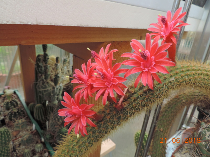 Cacti and Sukkulent in Köln, every day new flowers in the greenhouse Part 206 Bild1942