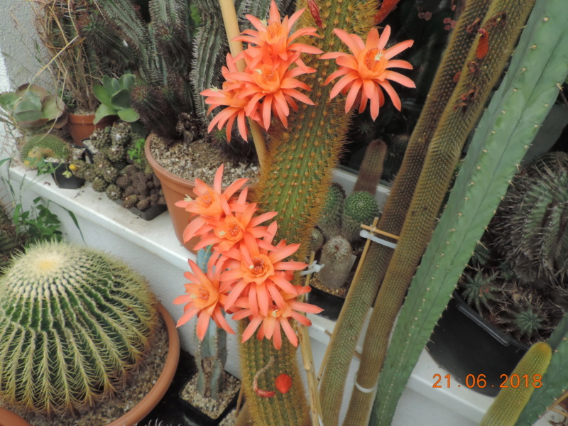 Cacti and Sukkulent in Köln, every day new flowers in the greenhouse Part 206 Bild1947