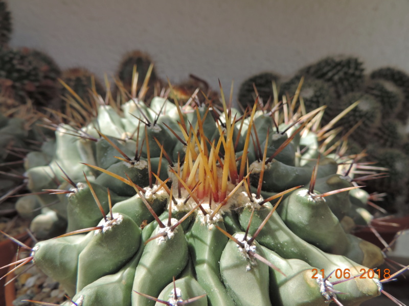 Cacti and Sukkulent in Köln, every day new flowers in the greenhouse Part 206 Bild1948