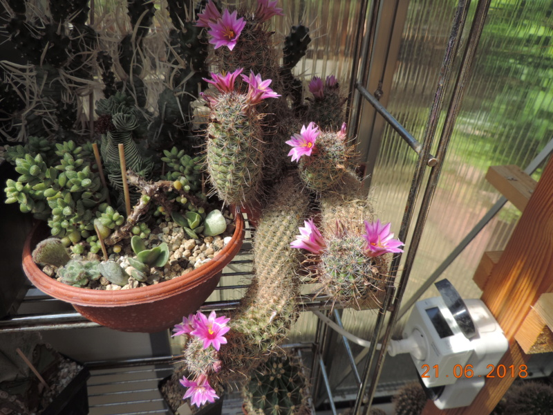Cacti and Sukkulent in Köln, every day new flowers in the greenhouse Part 206 Bild1957