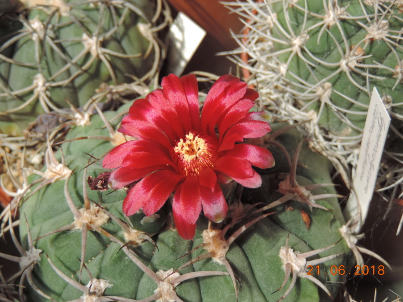Cacti and Sukkulent in Köln, every day new flowers in the greenhouse Part 206 Bild1969