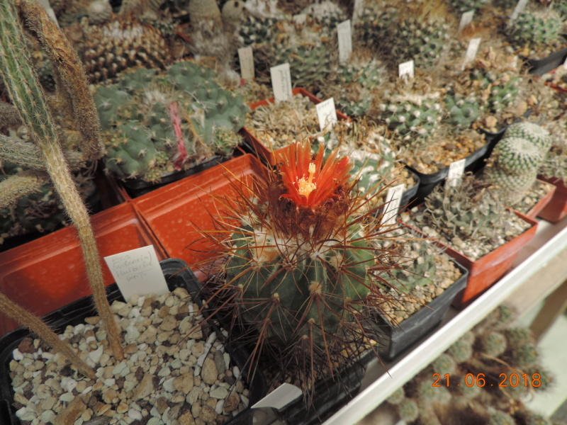 Cacti and Sukkulent in Köln, every day new flowers in the greenhouse Part 206 Bild1980
