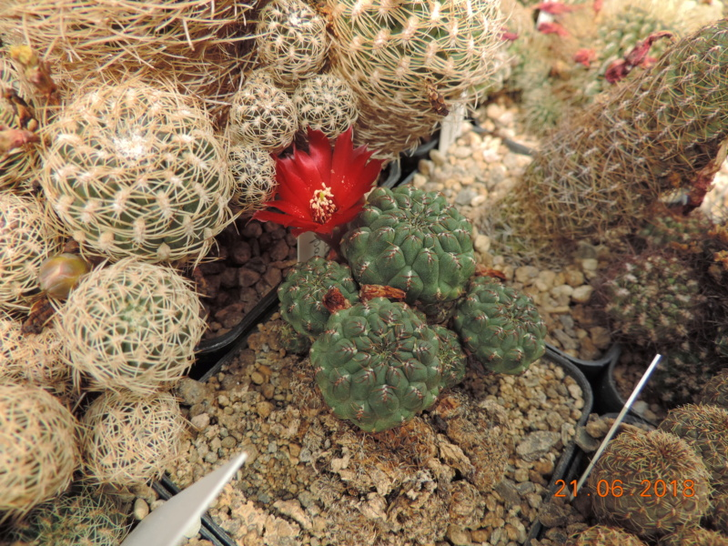Cacti and Sukkulent in Köln, every day new flowers in the greenhouse Part 206 Bild1988