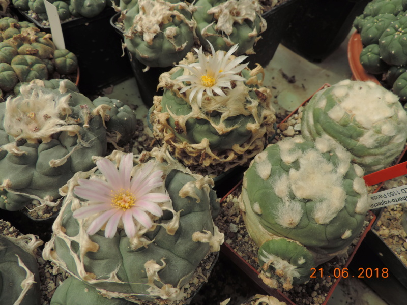 Cacti and Sukkulent in Köln, every day new flowers in the greenhouse Part 206 Bild1994