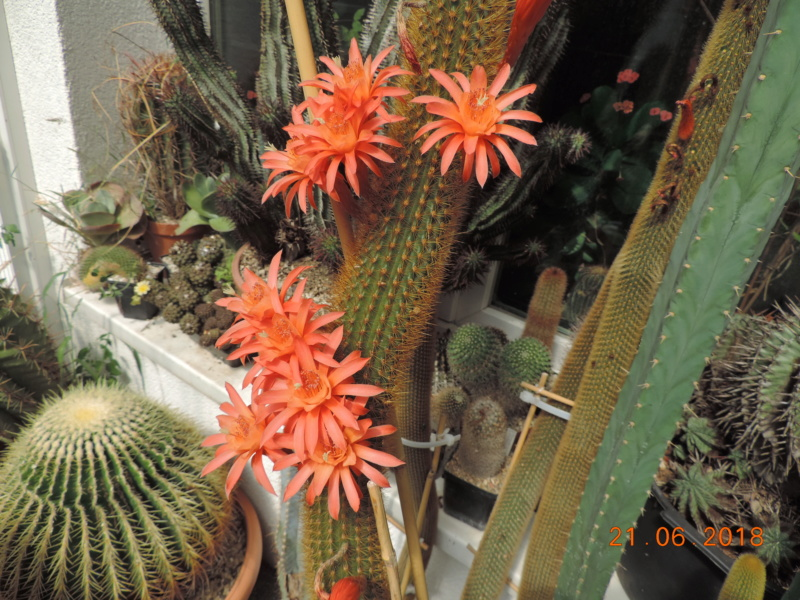 Cacti and Sukkulent in Köln, every day new flowers in the greenhouse Part 206 Bild2002