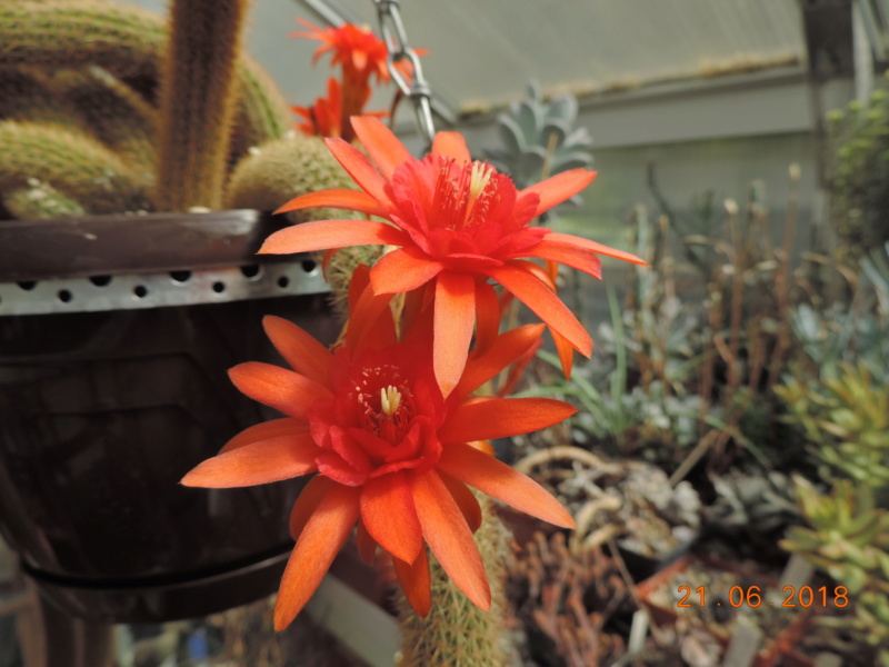 Cacti and Sukkulent in Köln, every day new flowers in the greenhouse Part 206 Bild2003