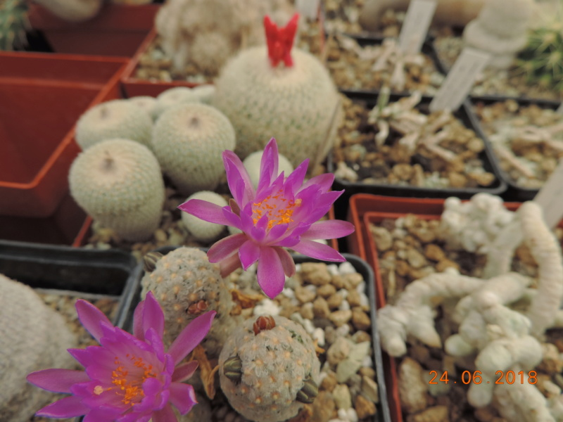 Cacti and Sukkulent in Köln, every day new flowers in the greenhouse Part 206 Bild2010