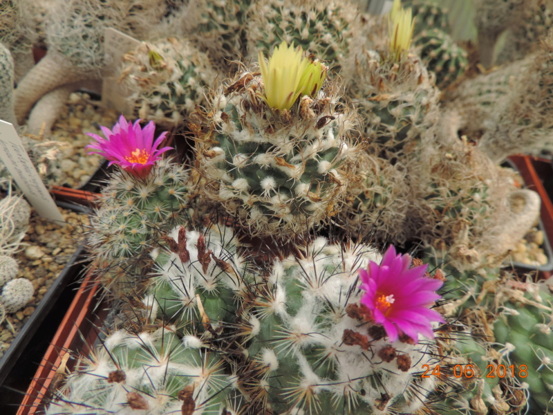 Cacti and Sukkulent in Köln, every day new flowers in the greenhouse Part 206 Bild2014