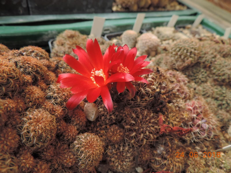 Cacti and Sukkulent in Köln, every day new flowers in the greenhouse Part 206 Bild2017