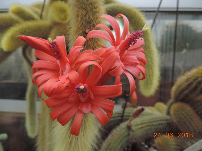Cacti and Sukkulent in Köln, every day new flowers in the greenhouse Part 206 Bild2083