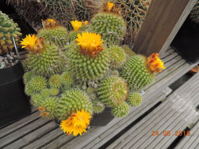 Cacti and Sukkulent in Köln, every day new flowers in the greenhouse Part 206 Bild2084