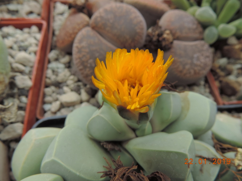 Cacti and Sukkulent in Köln, every day new flowers in the greenhouse Part 207 Bild2128