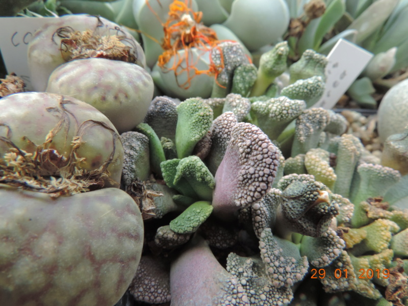 Cacti and Sukkulent in Köln, every day new flowers in the greenhouse Part 207 Bild2152