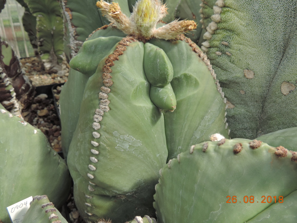 Cacti and Sukkulent in Köln, every day new flowers in the greenhouse Part 210 Bild2519