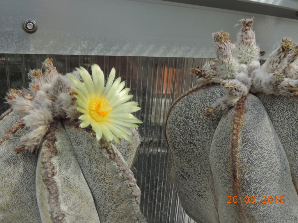 Cacti and Sukkulent in Köln, every day new flowers in the greenhouse Part 210 Bild2522