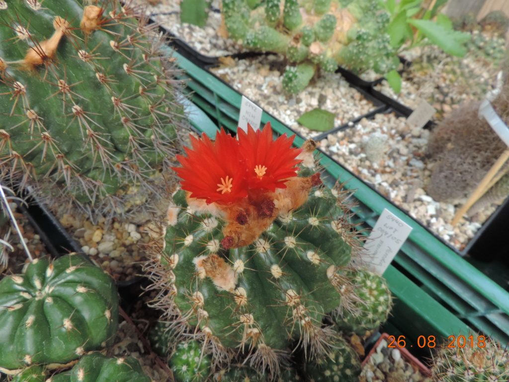 Cacti and Sukkulent in Köln, every day new flowers in the greenhouse Part 211 Bild2568