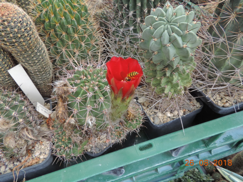 Cacti and Sukkulent in Köln, every day new flowers in the greenhouse Part 211 Bild2569