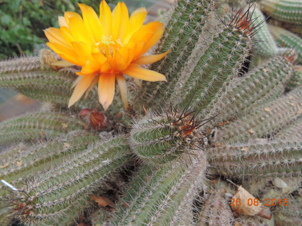Cacti and Sukkulent in Köln, every day new flowers in the greenhouse Part 211 Bild2574