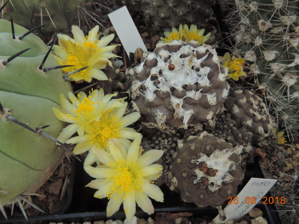 Cacti and Sukkulent in Köln, every day new flowers in the greenhouse Part 211 Bild2582