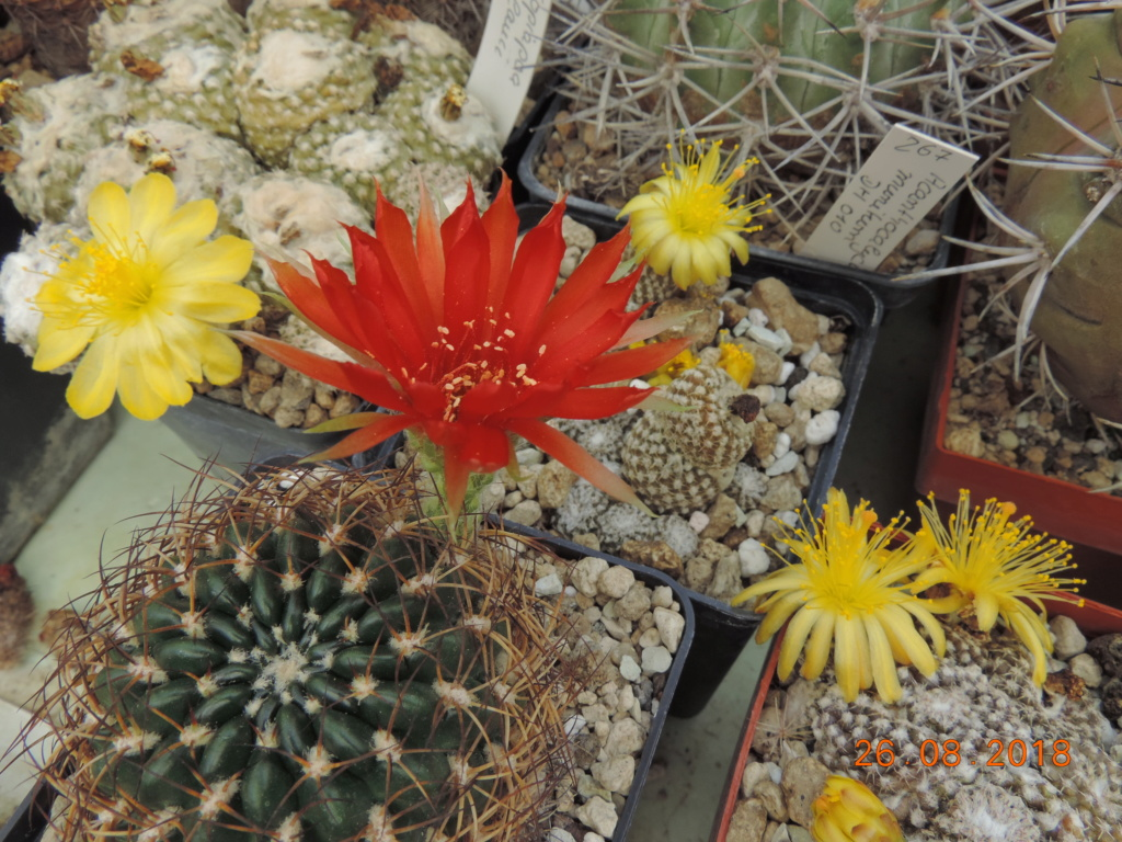Cacti and Sukkulent in Köln, every day new flowers in the greenhouse Part 211 Bild2587