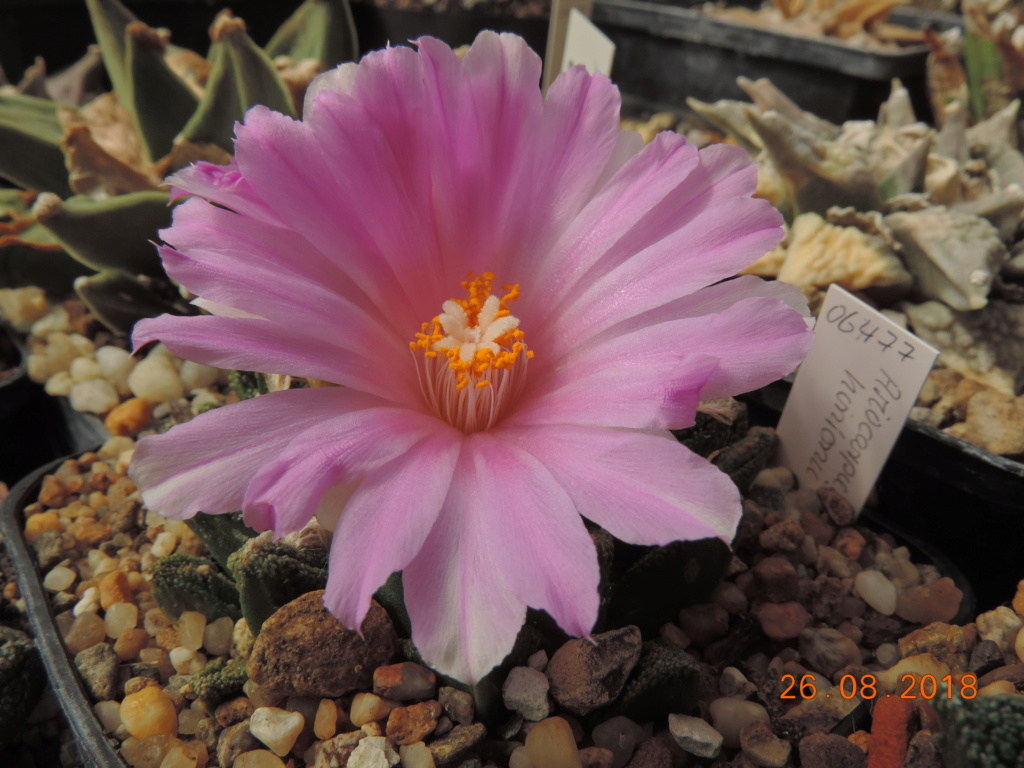 Cacti and Sukkulent in Köln, every day new flowers in the greenhouse Part 211 Bild2649