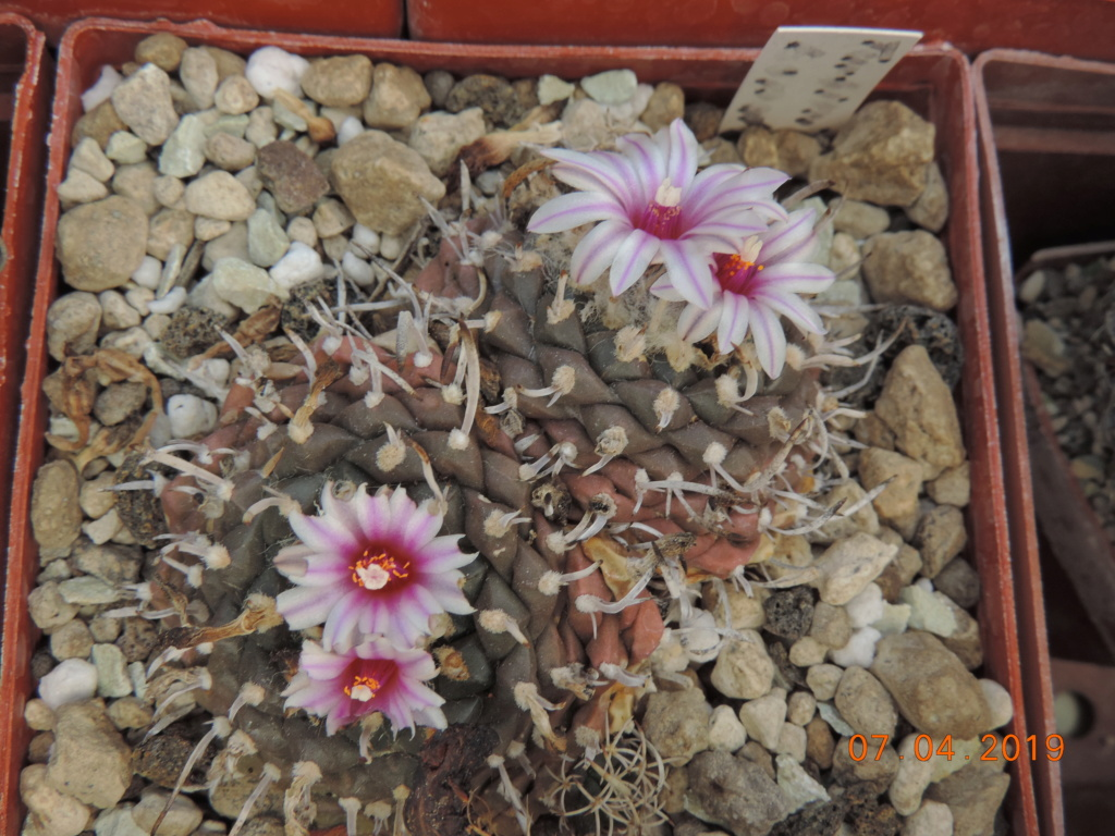 Cacti and Sukkulent in Köln, every day new flowers in the greenhouse Part 212 Bild2716