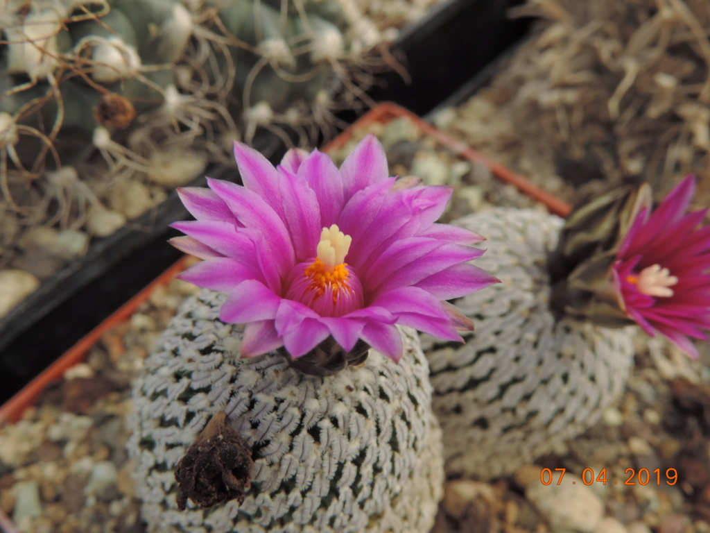 Cacti and Sukkulent in Köln, every day new flowers in the greenhouse Part 212 Bild2717