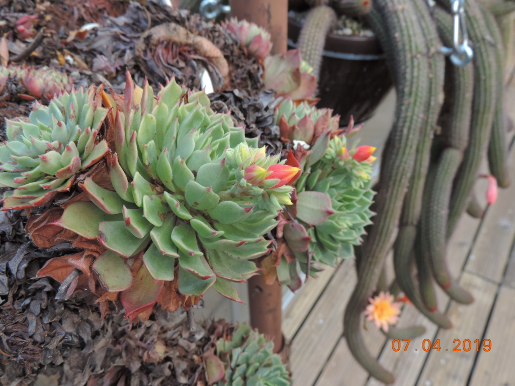 Cacti and Sukkulent in Köln, every day new flowers in the greenhouse Part 212 Bild2728