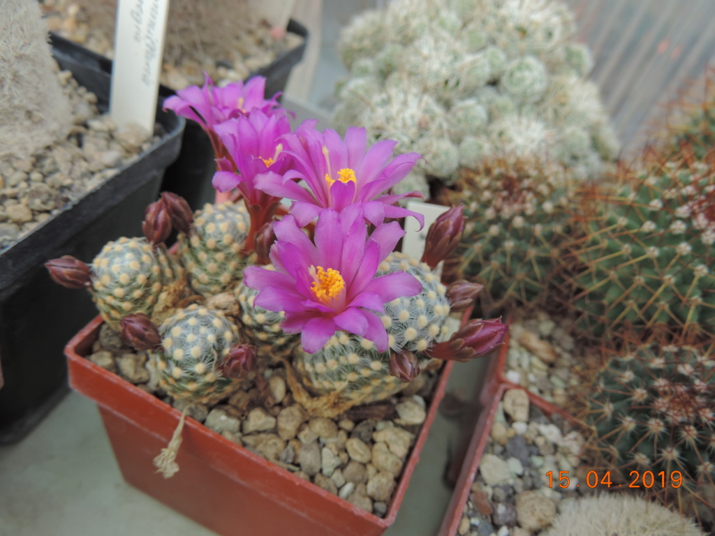 Cacti and Sukkulent in Köln, every day new flowers in the greenhouse Part 212 1/2 Bild2756