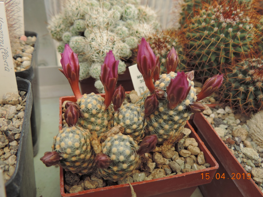 Cacti and Sukkulent in Köln, every day new flowers in the greenhouse Part 212 1/2 Bild2757