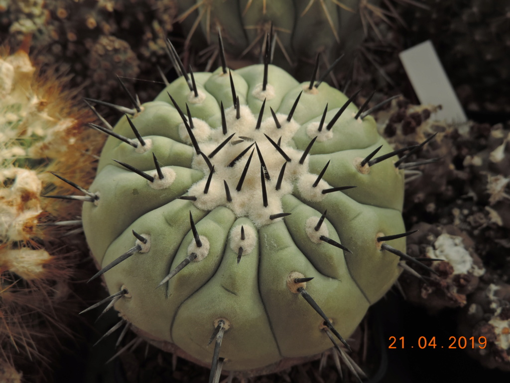 Cacti and Sukkulent in Köln, every day new flowers in the greenhouse Part 212 1/2 Bild2822